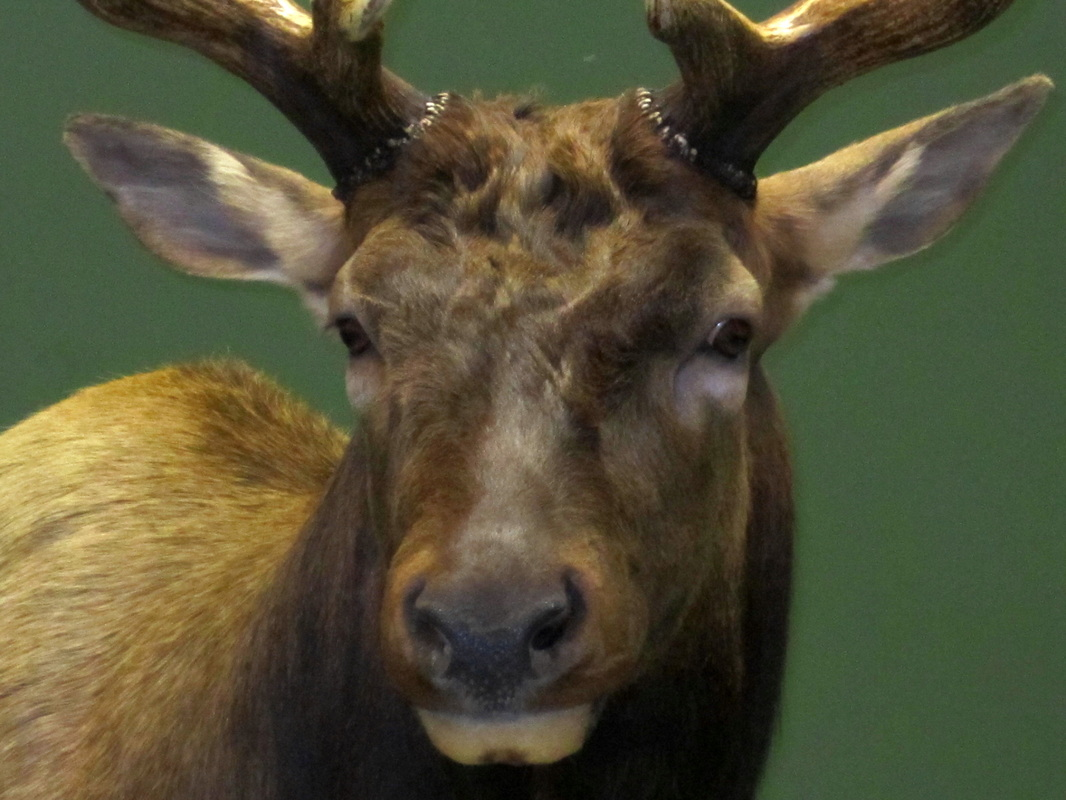 Elk and moose foothills taxidermy look publicscrutiny Image collections